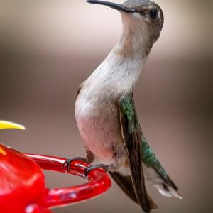 hummingbird-scaled